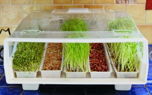 Sprouting-tray